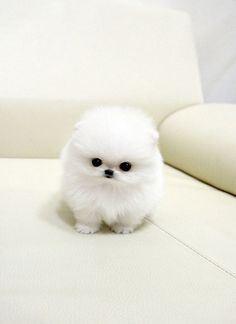 I know it looks like an impractical feather duster... But Pom pups are so cute ... my mommy needs one!!!!