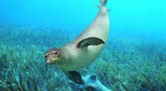 「harp seal swimming」の画像検索結果