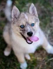 All You Need To Know About Pomsky Puppies