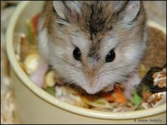 Looking for a dwarf hamster food that's safe for your pet to eat? Here's a list of fruit, seeds, grains and other food you can feed your dwarf hamster. Hamster Life, Hamster Eating, Dwarf Hamster Food, Dwarf Hamsters, Hamster Treats, Fruit List, Food Lists, Your Pet, Pets