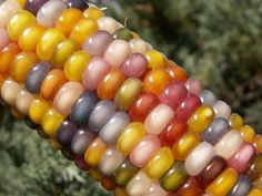 Glass Gem Corn: Before human selection, corn ears were all multi-colored. Beautiful multi-colored varietal is available through the Seed Trust Foundation (sold out this year).
