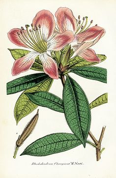 Botanical Prints by Lemaire 1851-54 Rhododendrum championae