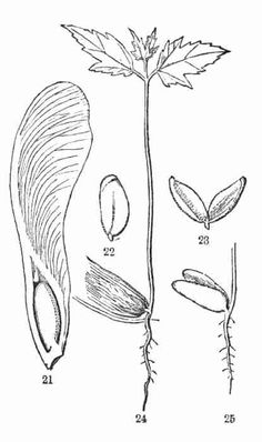 Germination seed / vintage illustration from Meyers