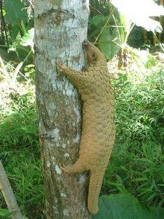 Sunda Pangolin - World's most distinct mammals and amphibians mapped, BBC