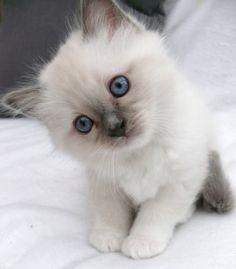 White kitty with incredibly blue eyes