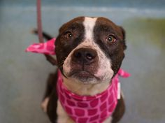 TO BE DESTROYED - 02/05/15 Brooklyn Center -P My name is TAFFY. My Animal ID # is A1026121. I am a female gray and white pit bull mix. The shelter thinks I am about 2 YEARS old. For more information on adopting from the NYC AC&C, or to find a rescue to assist, please read the following: http://urgentpetsondeathrow.org/must-read/