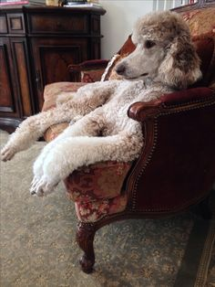 It's not unusual to find a poodle lounging on the furniture. How relaxed is that?