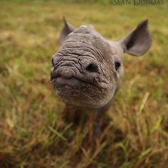 Baby rhino is too cute @ausrhinoproject