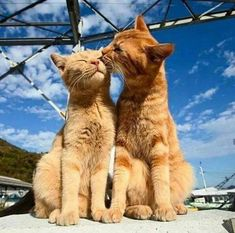 These cute kittens will warm your heart. Cats are wonderful creatures. Baby Animals, Funny Animals, Cute Animals, Animals Images, Cute Kittens, Cats And Kittens, Kitty Cats, Chat Maine Coon, Cat Couple