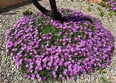 delosperma plant pictures - Yahoo Search Results Yahoo Image Search Results