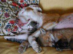 Kitty dog fox