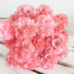 Dried Watermelon Pink Scabiosa Pods Starflower Flowers | Etsy