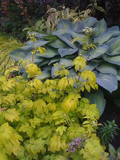What a beautiful combination. This photo was taken from a Flickr photo sharing site where the plants aren't identified. I would love to know the name of the Hosta shown as well as the other plant here. Any ideas what they might be?