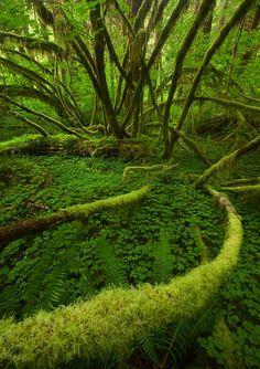 ✯ Rain forest, Olympic National Park, Washington
