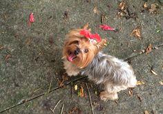 Essa é a Dalila Yorkshire terrier