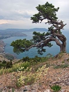 Sea Landscape With Knotty Crooked Pine-tree On Mount On Forefront,. Stock Photo, Picture And Royalty Free Image. Landscape Photography, Nature Photography, Bristlecone Pine, Juniper Tree, Dame Nature, Twisted Tree, Lone Tree, Unique Trees, Old Trees