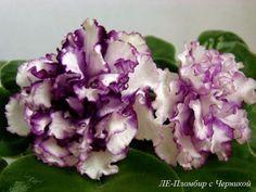 Le-Plombir S Chernikoyblueberry Ice Cream African Violet Plant Plug Russian