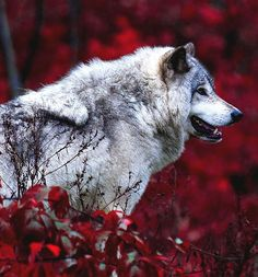 Timber Wolf • Source: Jim Cumming