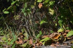 La couleuvre verte et jaune, Geelgroene toornslang, Green whipsnake