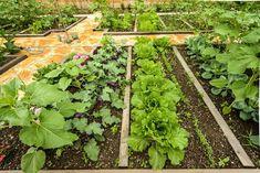 pestovanie zeleniny v apríli Hens, Salvia, Gardening, Fruit, Wall Trellis, Vegetable Gardening, Plant, Sage, Lawn And Garden