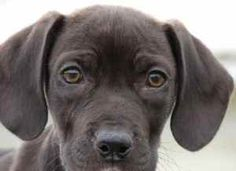 Yolanda is an adoptable Labrador Retriever Dog in Chipley, FL. Yolanda is a 3 to 4 month old female lab cross, about 12 pounds. She is very sweet and has a very laid back personality. How can you resi...
