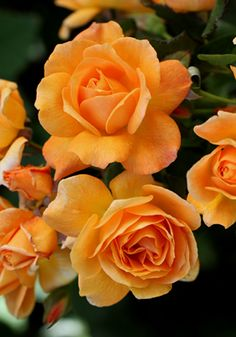 """Slim Dusty* - Floribunda- Modern shrub rose. Named after celebrating Aussie country music legend Slim Dusty. A rich golden orange coloured rose with copper bronze tonings.  Slightly fragrant."