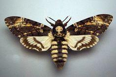 deaths head hawkmoth | genus Acherontia