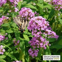 Phlox 'Jeana' is a new garden phlox introduction notable for its multi-month bloom time and colorful lavender-pink clusters of sweet fragrant flowers. It is also exceptionally cold hardy and highly attractive to butterflies.