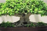 Growth Stages of a Bonsai Tree   eHow