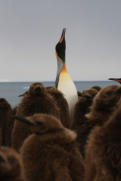 """King Penguin & Chicks"" by Michael Stolzman Photography on flickr"