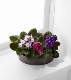 African Violets by anytimeflower