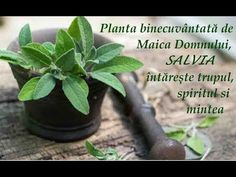 Aromatizant in aluaturi Salvia, Herbs, Pandora, Home, Plant, Sage, Herb, Medicinal Plants