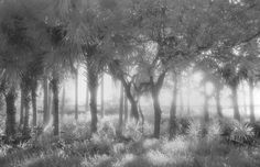 """Let the Sun Shine Through"", Photo by Harriet Blum.  I shot this photo in Ormond Beach, FL.  The Halafax River is behind the palm trees.  I used black and white infrared film."