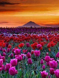 Beautiful tulip field...