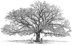 Image result for oak tree drawing