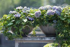Hortensien im Topf brauchen einen gleichmäßigen Nährstoff-Nachschub