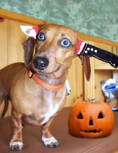 """Doxie in a """"Knifefight Loser"""" costume"""
