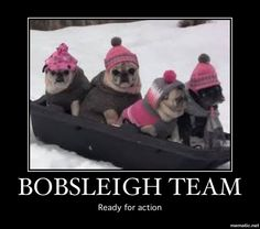 The Pug Toboggan Team! Baby Animals, Funny Animals, Cute Animals, Pug Love, I Love Dogs, Grumble Of Pugs, Cute Pug Pictures, Pug Puppies, Cute Pugs