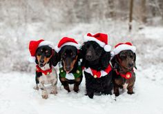 Christmas Dogs | Flickr - Photo Sharing!