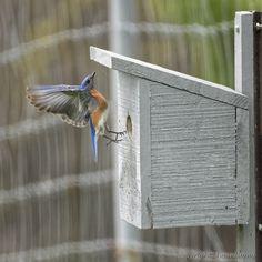 https://flic.kr/p/TKpci3 | Eastern Bluebird (Merle bleu de l'Est) | Images taken by hoan luong is licensed under a Creative Commons Attribution-NonCommercial-NoDerivs 3.0 Unported License.