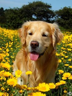 Golden retriever in a flower field! :D Golden-Golden retriever in a flower field! 😀 Golden retriever in a flow… Golden retriever in a flower field! 😀 Golden retriever in a flower field! Perro Labrador Golden, Perros Golden Retriever, Baby Golden Retrievers, Labrador Puppies, Black Labrador, Cute Puppies, Cute Dogs, Dogs And Puppies, Doggies