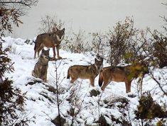 La magia dell'inverno incontra la natura e i tesori dei dell'Abruzzo: il parco nazionale, la Majella, il Gran Sasso e il Castello di Rocca Calascio, indicato dal National Geographic come uno dei 15 più suggestivi al mondo. Luoghi ma anche animali, come questi lupi di cui avevamo documentato l