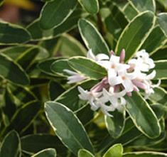 Daphne transatlantica x D. Collina - flowers almost year round on evergreen leaves. tall and wide. Part shade. A bit more forgiving than Daphne Odora . White Flowers, Plants, Gorgeous Gardens, Sweet Smelling Flowers, Vines, Daphne Plant, Shrubs, Winter Plants, Flowering Trees