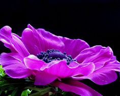 Anemones….just one of my favourite blooms…insane colour