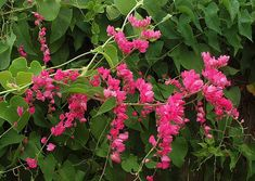 Antigonon leptopus, Coral Love Vine, 10 seeds, vibrant pink climber for sun or…