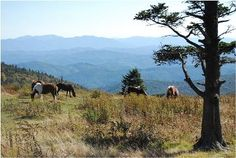Wild ponies in the Grayson Highlands on way to summit of Mt. Rogers, VA, 7.8-mile loop.