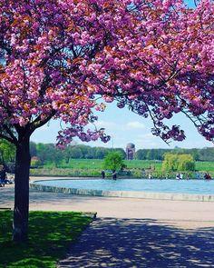 Wie ich die Kirschblüte liebe   #gardening #garden #mai #kirschblüten #kirschblüte #hamburg #stadtparkhamburg #hamburgmeineperle #norddeutschland #rosa #pink #love #sunshine #wonderfull #wochenende #park #nature #naturelovers #cherryblossom #spring #frühling #sundayfun #sonntagsspaziergang #soschön