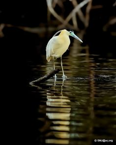 Capped Heron from the Amazon