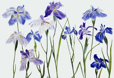 Irises (2012) - Elizabeth Blackadder