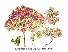 Google Image Result for http://www.soc-botanical-artists.org/members/images/Blake_Hydrangea.jpg